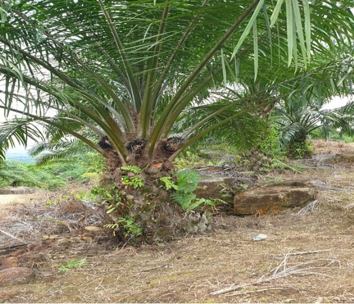 Oil Palm Plantation @ Tinjar, Miri
